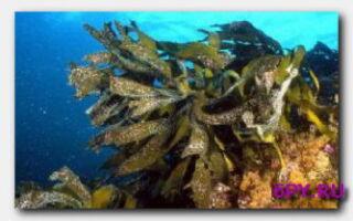 Польза бурых морских водорослей для организма
