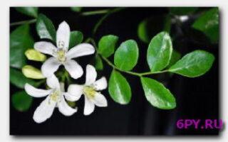 Статья. Полезные свойства масла бергамота